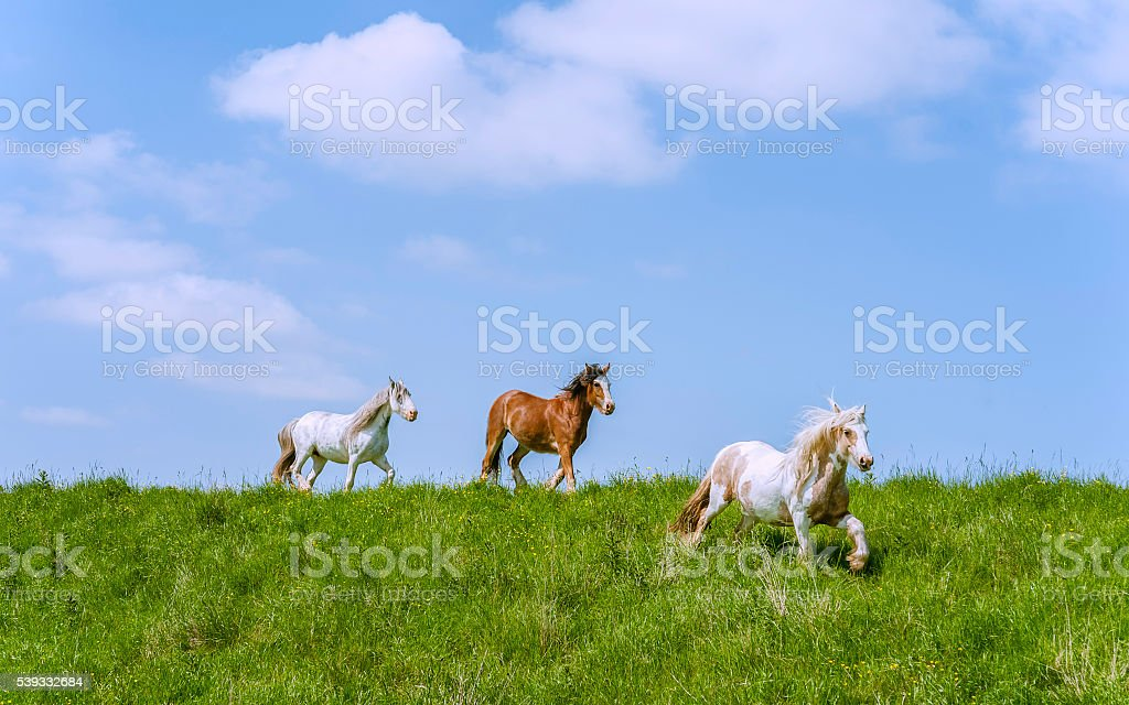 Cob horses grazing along the River Hull during summer. stock photo