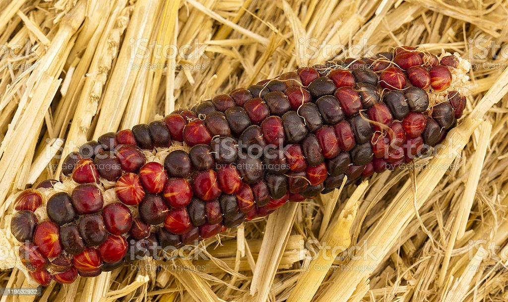 Cob of red Indian corn lying in straw stock photo