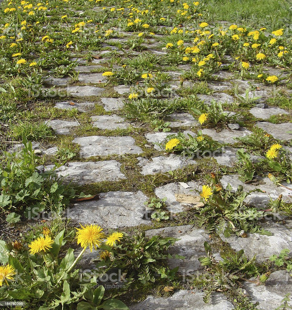 cobble-stone road overgrown with dandelion flower royalty-free stock photo