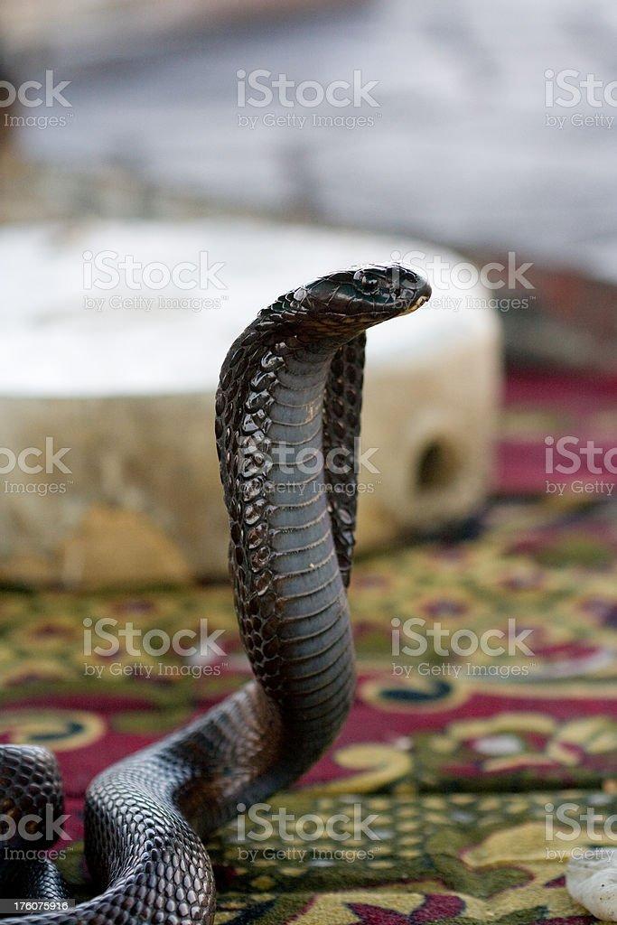 Cobra at Djemaa El-fna square, Marrakesh royalty-free stock photo