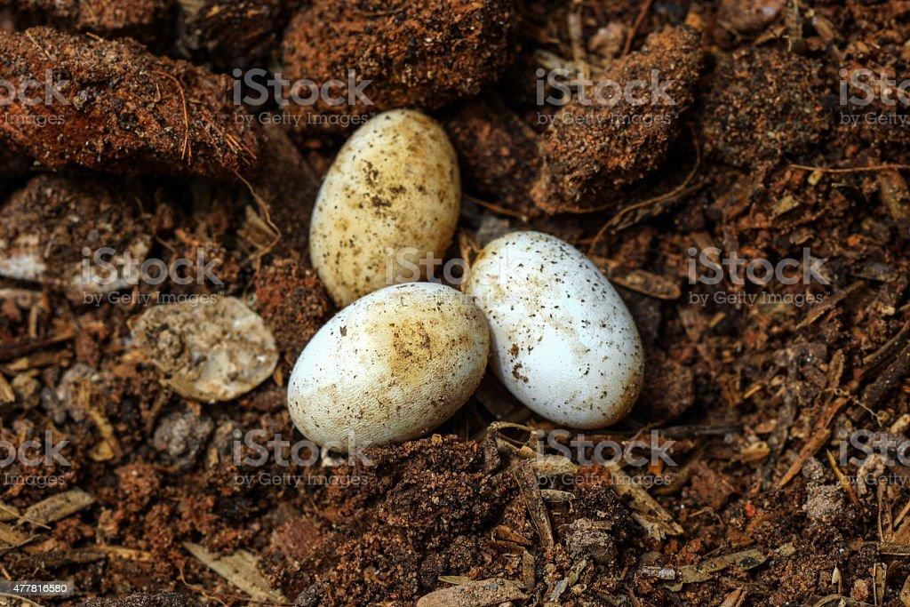 Cobra eggs on the ground. stock photo