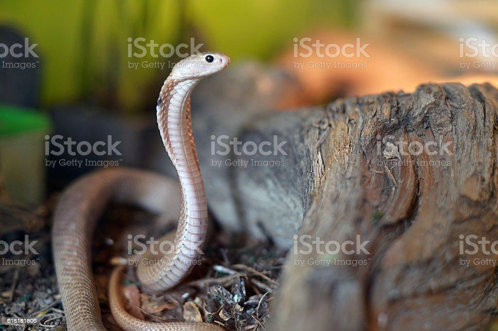 Cobra from Taiwan stock photo