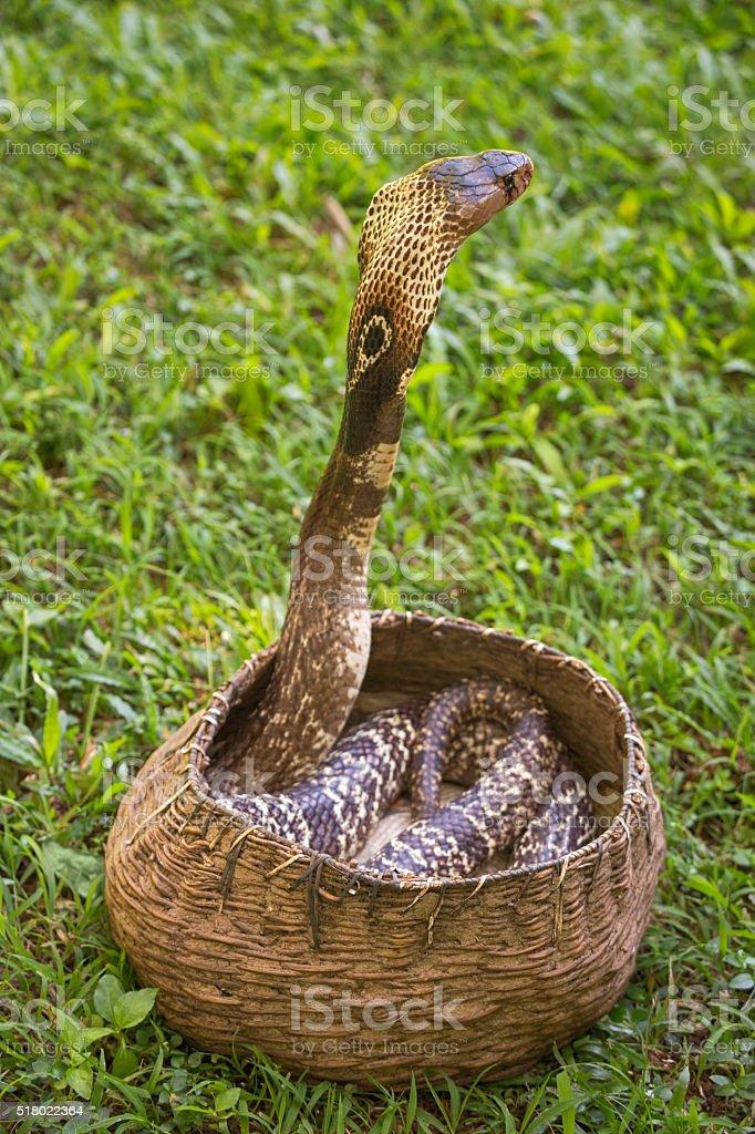 Cobra in Basket of Snake Charmer stock photo