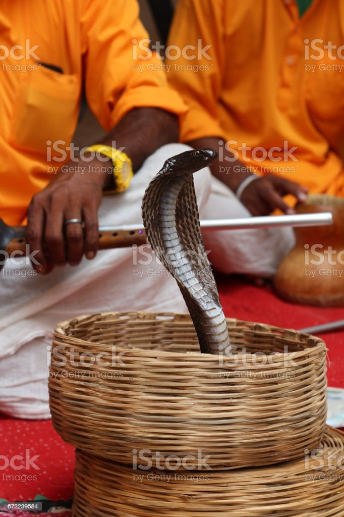 Cobra in Wicker Backet In Front of Snake Charmers with Flutes stock photo
