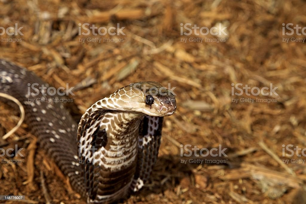 Cobra, Indian royalty-free stock photo