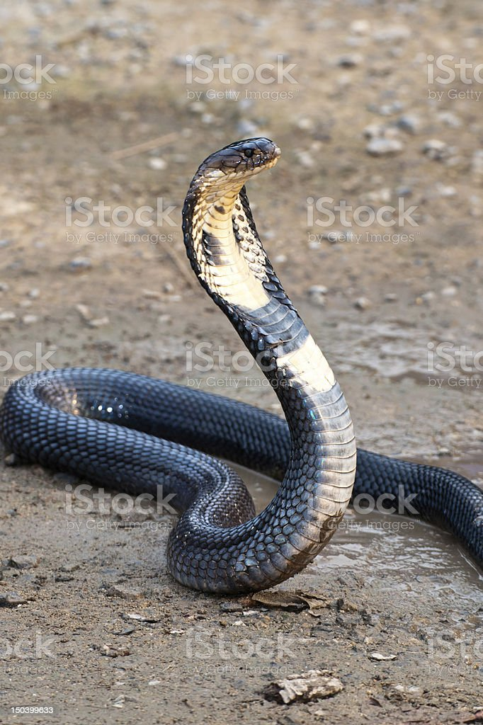 Cobra royalty-free stock photo