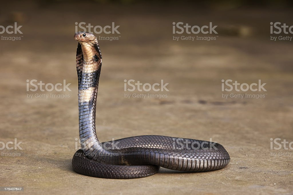Cobra stock photo