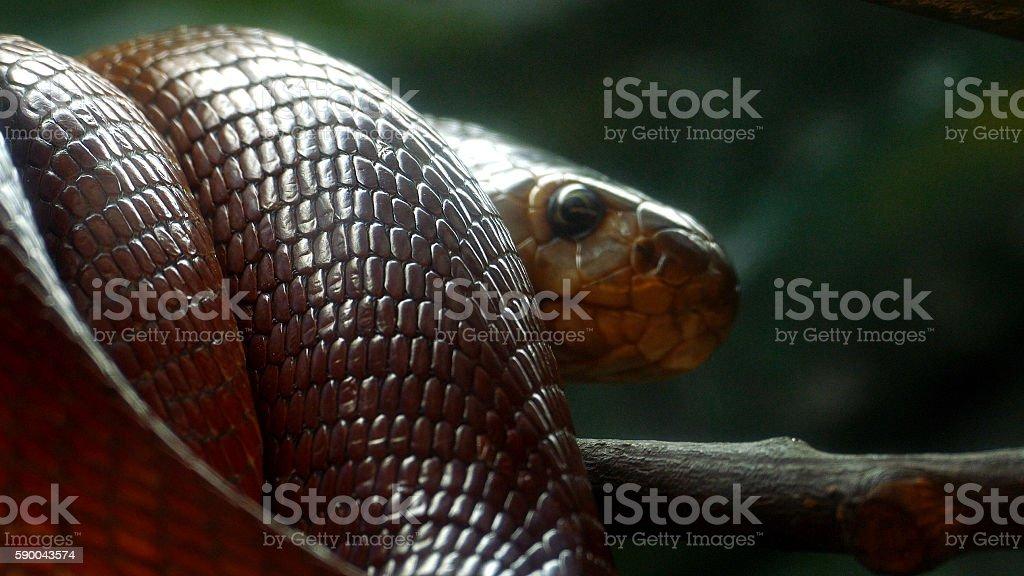 cobra stock photo