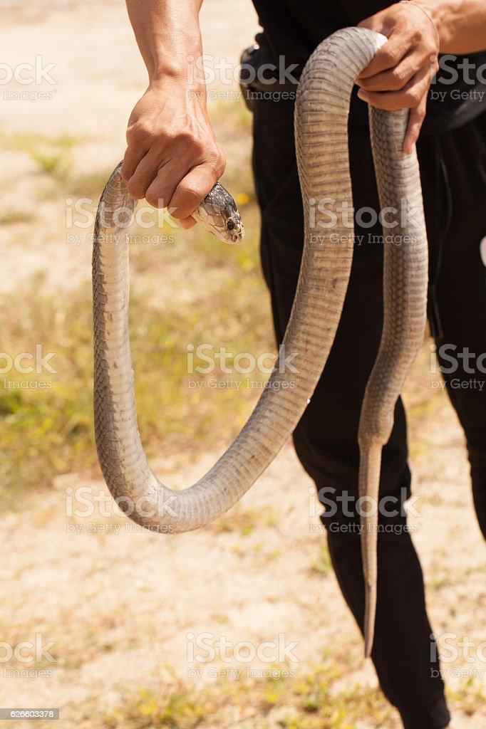 Cobra snake in natural habitats stock photo