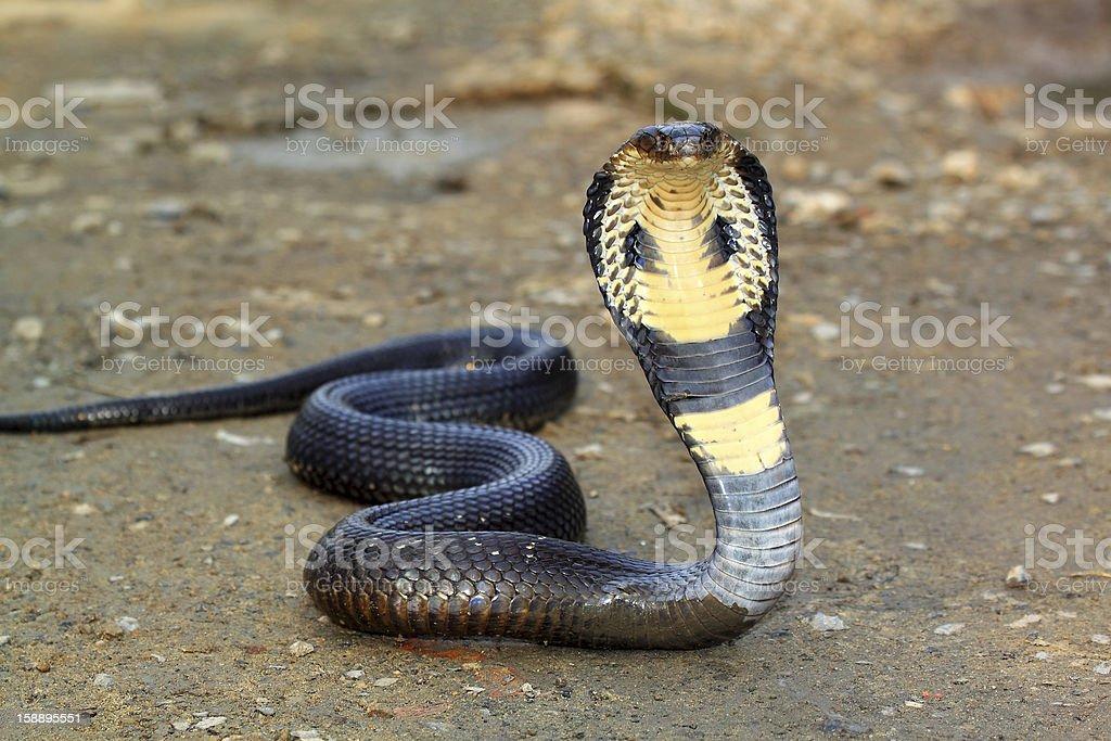 Cobra snake stock photo