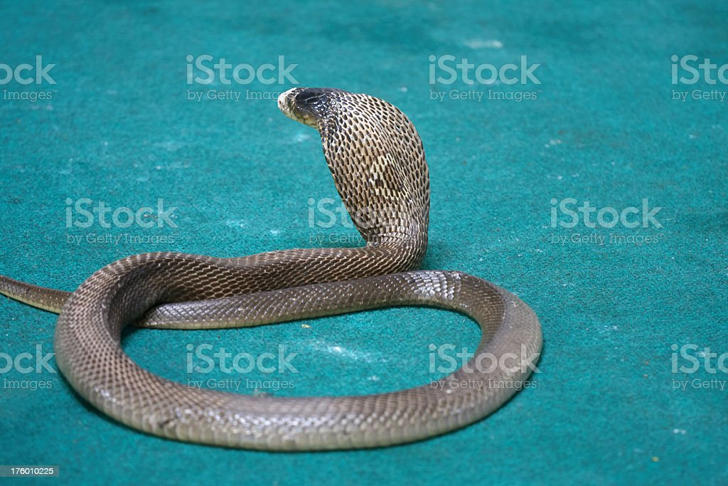 cobra snake royalty-free stock photo