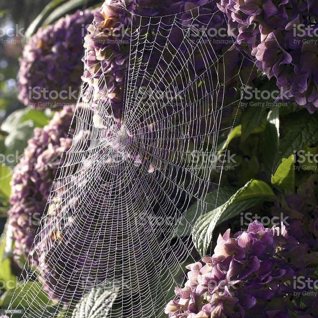 Cobweb On Hydrangea stock photo