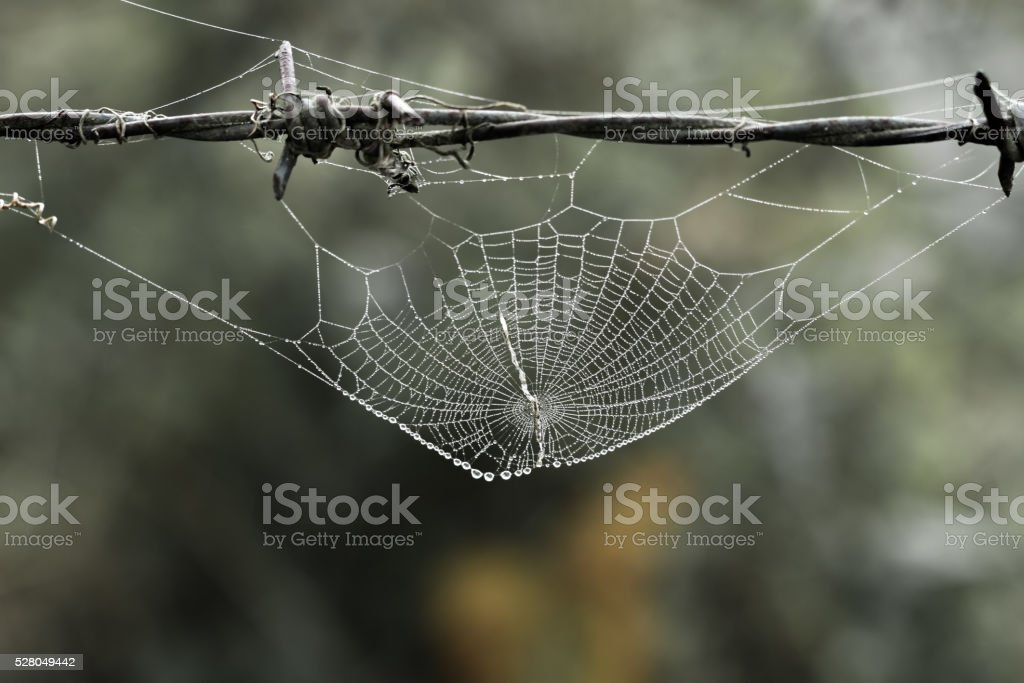 Cobweb with small dews during fog stock photo