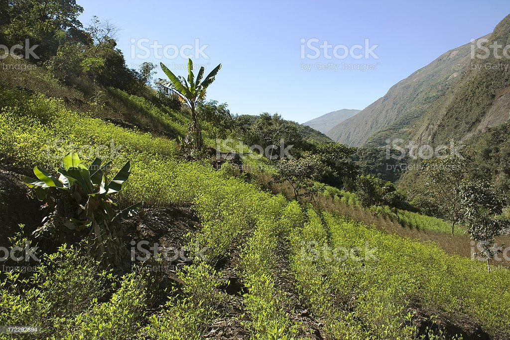 Coca field royalty-free stock photo