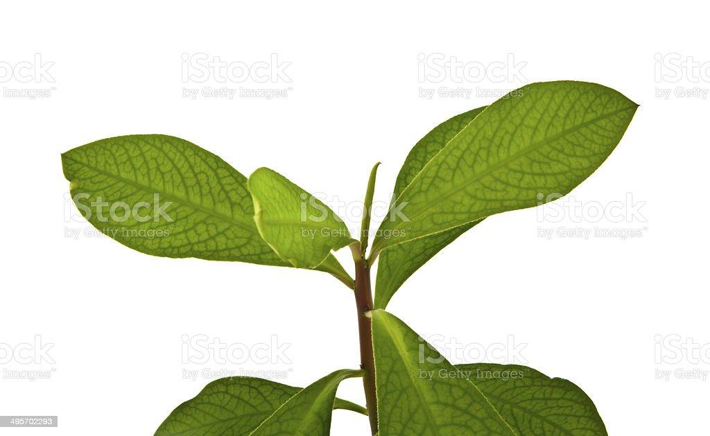 Coca leaf stock photo