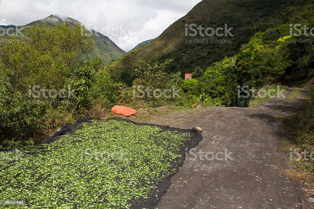Coca Leafs Drying stock photo