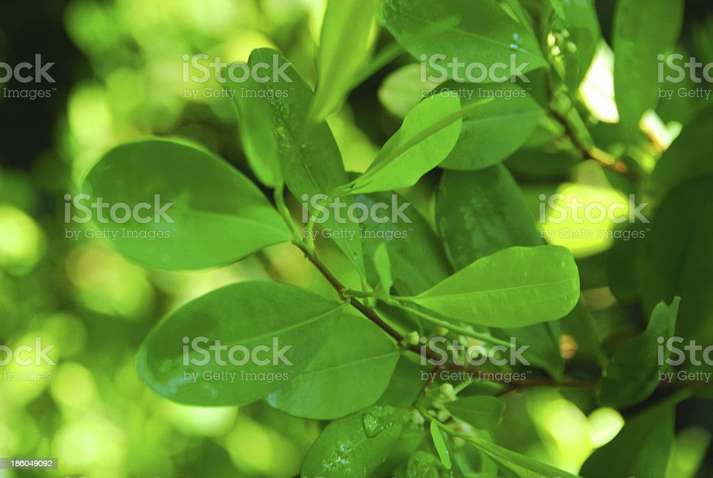 coca leaves on the tree stock photo