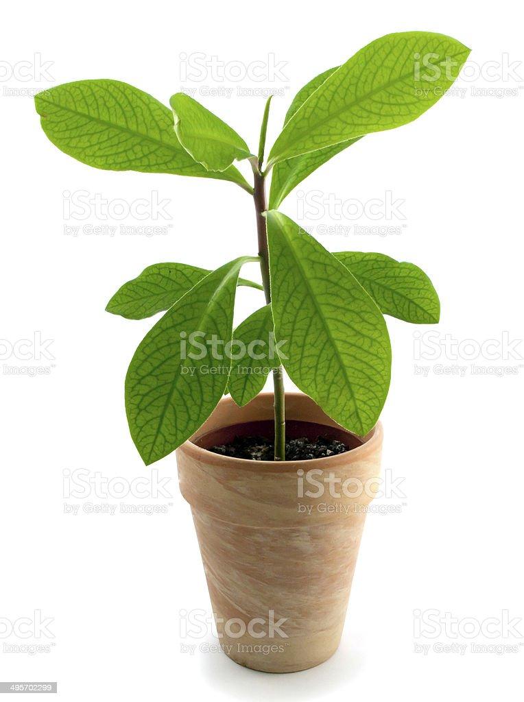 Coca plant in pots stock photo
