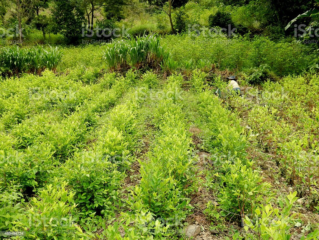Coca Plantation stock photo