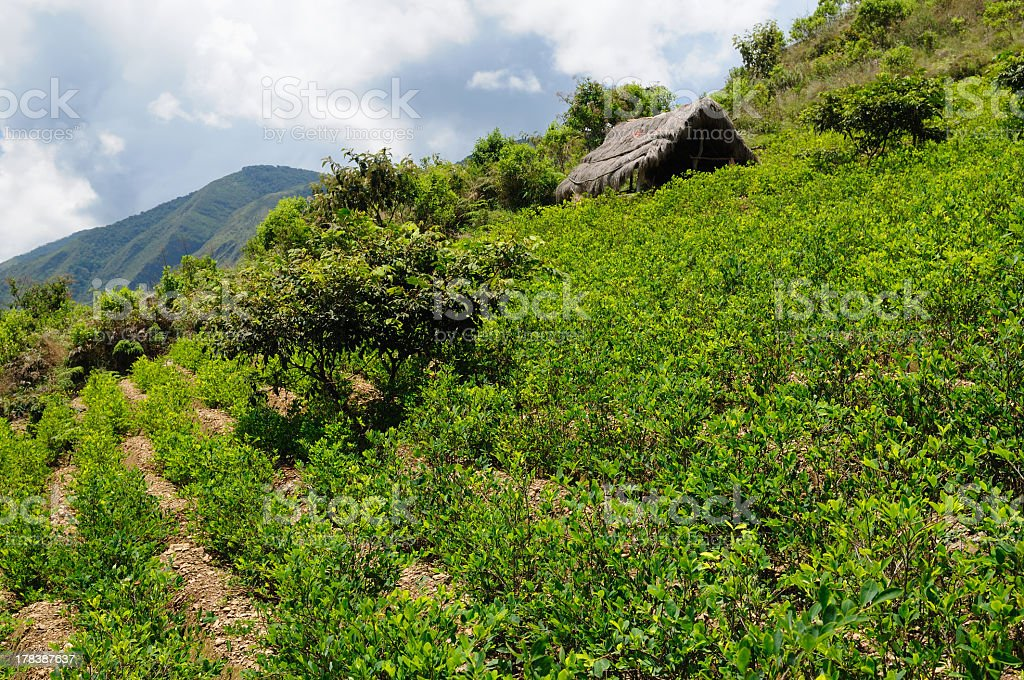 Coca plants in the Andes Mountains in Bolivia stock photo