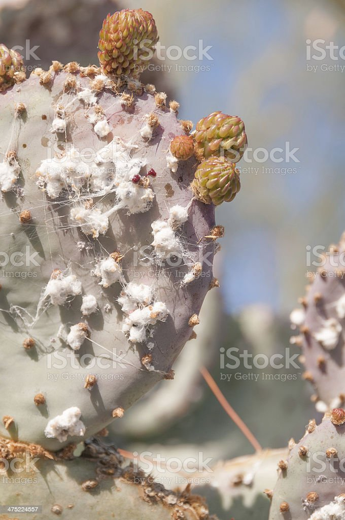 Cochineal on prickly pear cactus stock photo