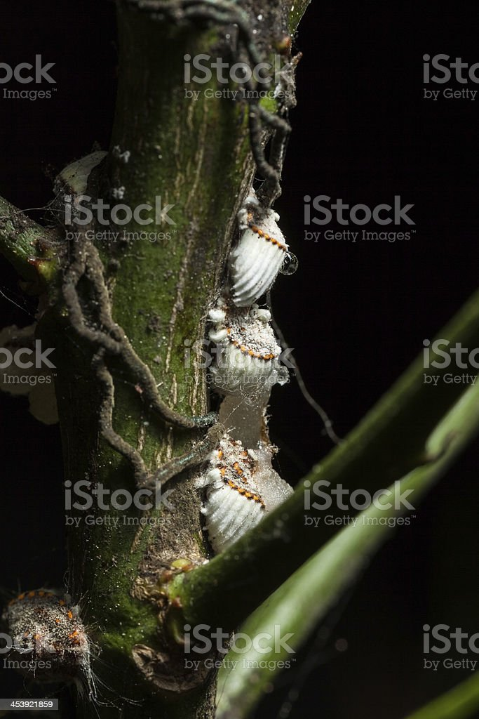 Cochineal stock photo