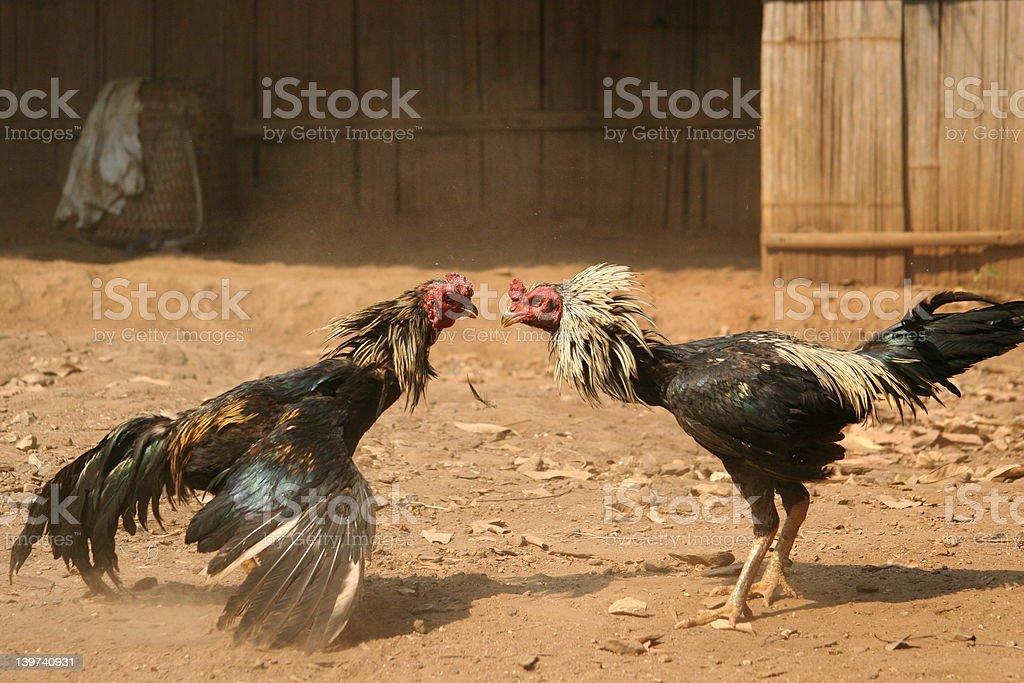Cock Fight stock photo
