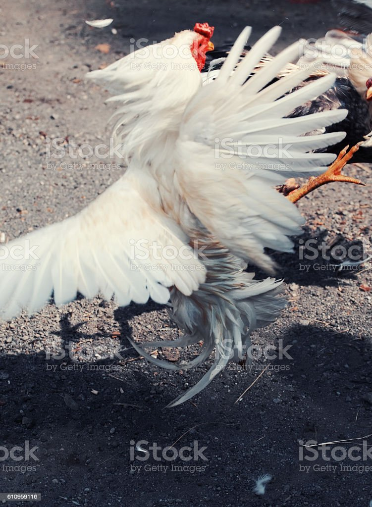 Cock Fighting in Bali, Indonesia stock photo