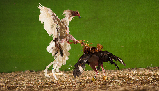 Cock Fighting Picturs 106