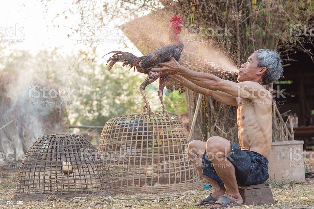 cock fighting stock photo