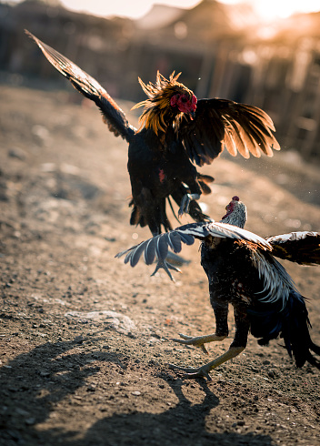 Cock Fighting Picturs 68