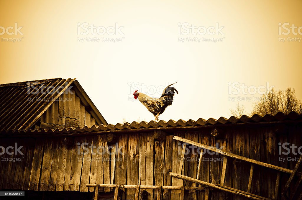 cock on a roof stock photo