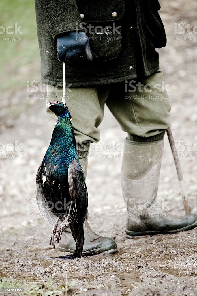 Cock pheasant royalty-free stock photo