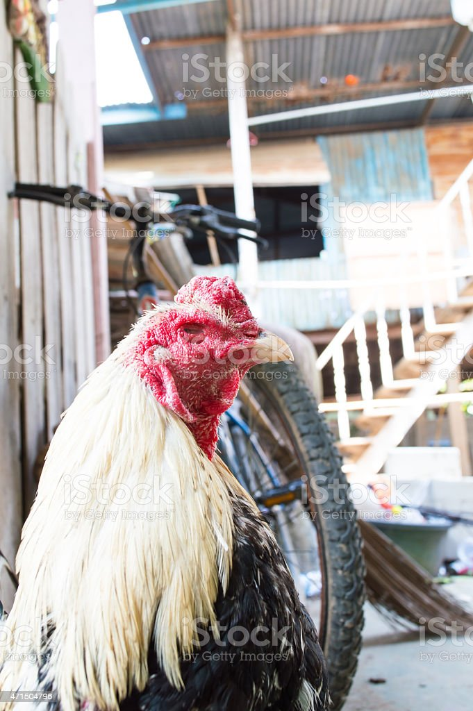 cock stock photo