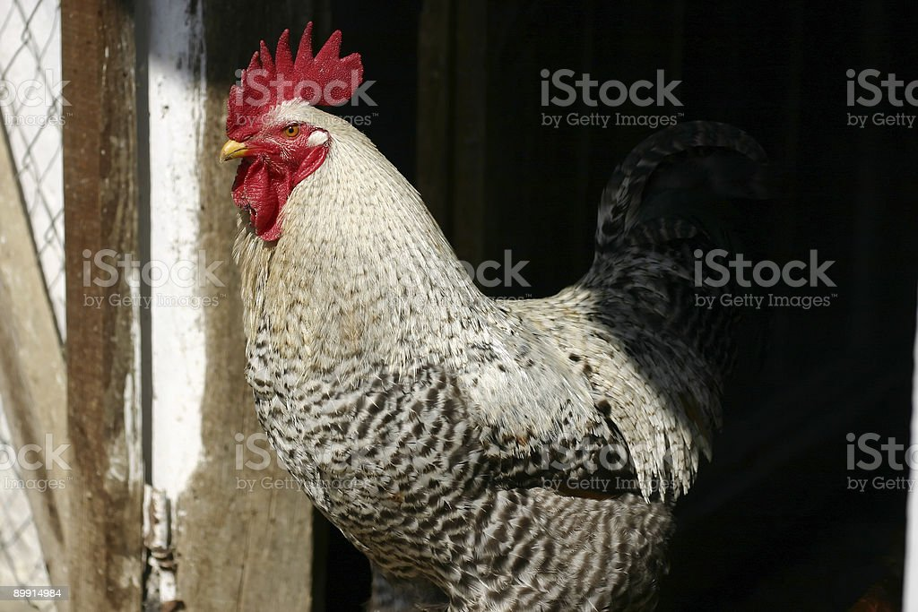 cock royalty-free stock photo