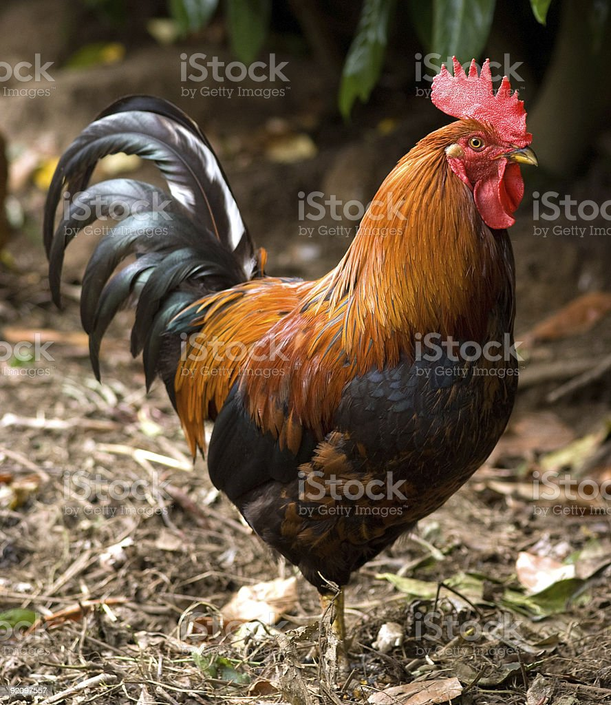 Cock profile stock photo