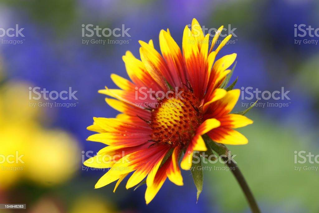 Cockade flower stock photo