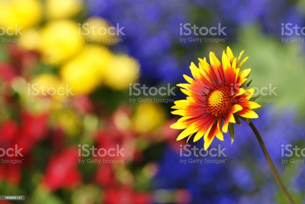 Cockade flower stock photo