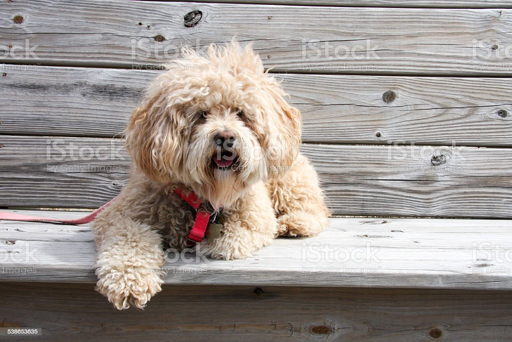 Cockapoo on a Wooden Bench stock photo