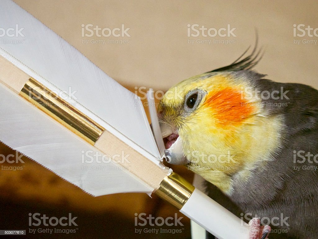 Cockateel destroys a New Year's exorcising arrow stock photo
