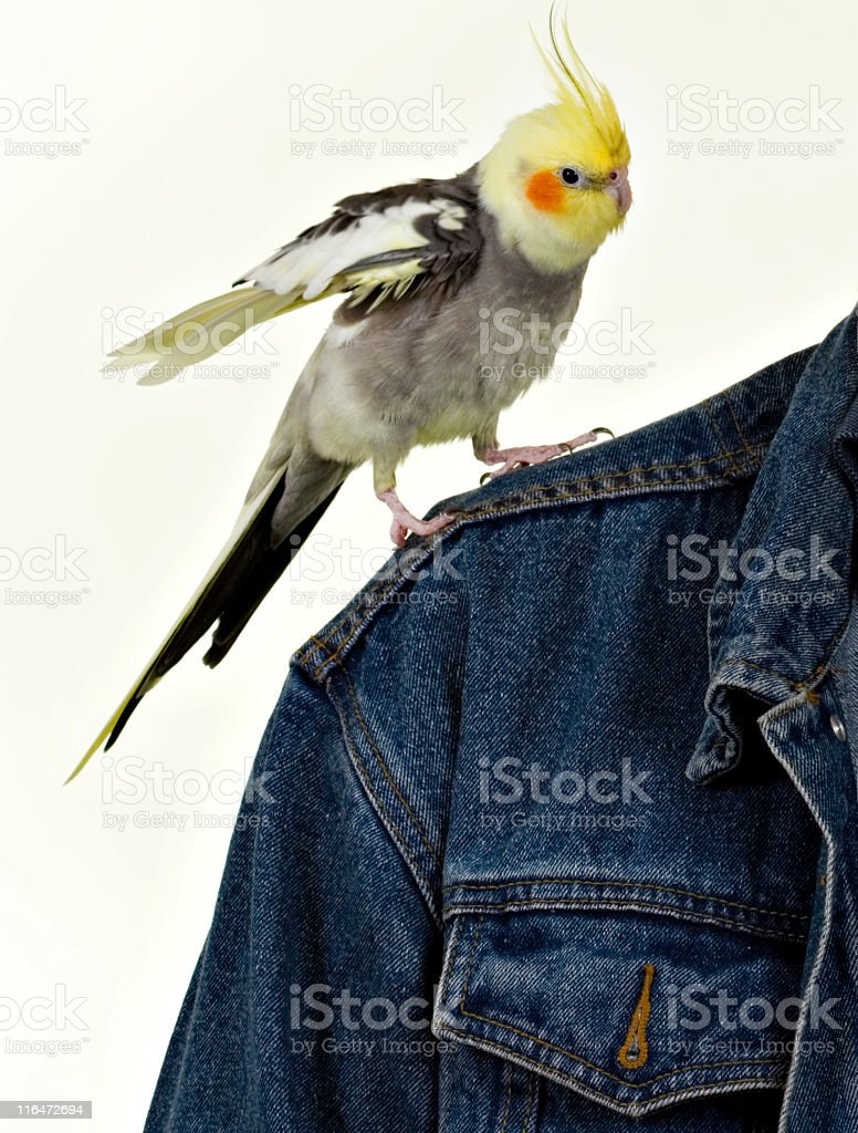 Cockatiel 'Landing' On Owner's Shoulder royalty-free stock photo