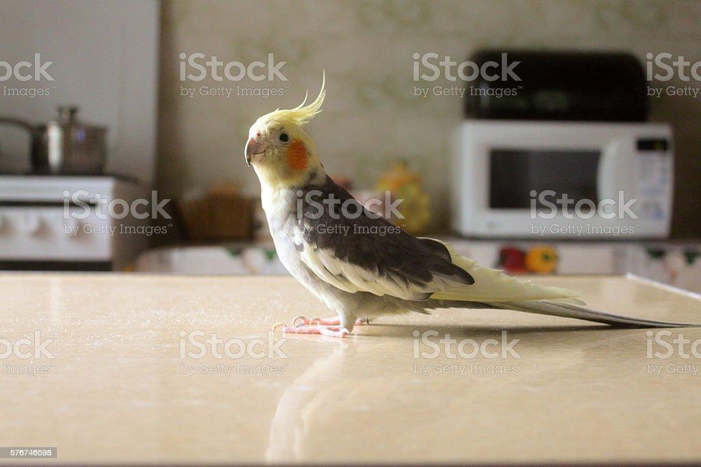 cockatiel parrot stock photo