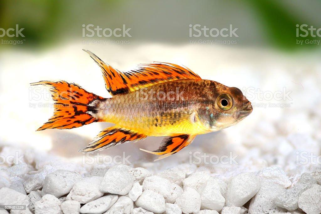 Cockatoo Dwarf Cichlid Apistogramma cacatuoides freshwater aquarium fish stock photo