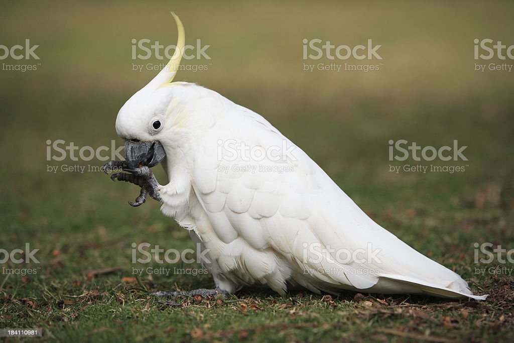 Cockatoo Eating royalty-free stock photo