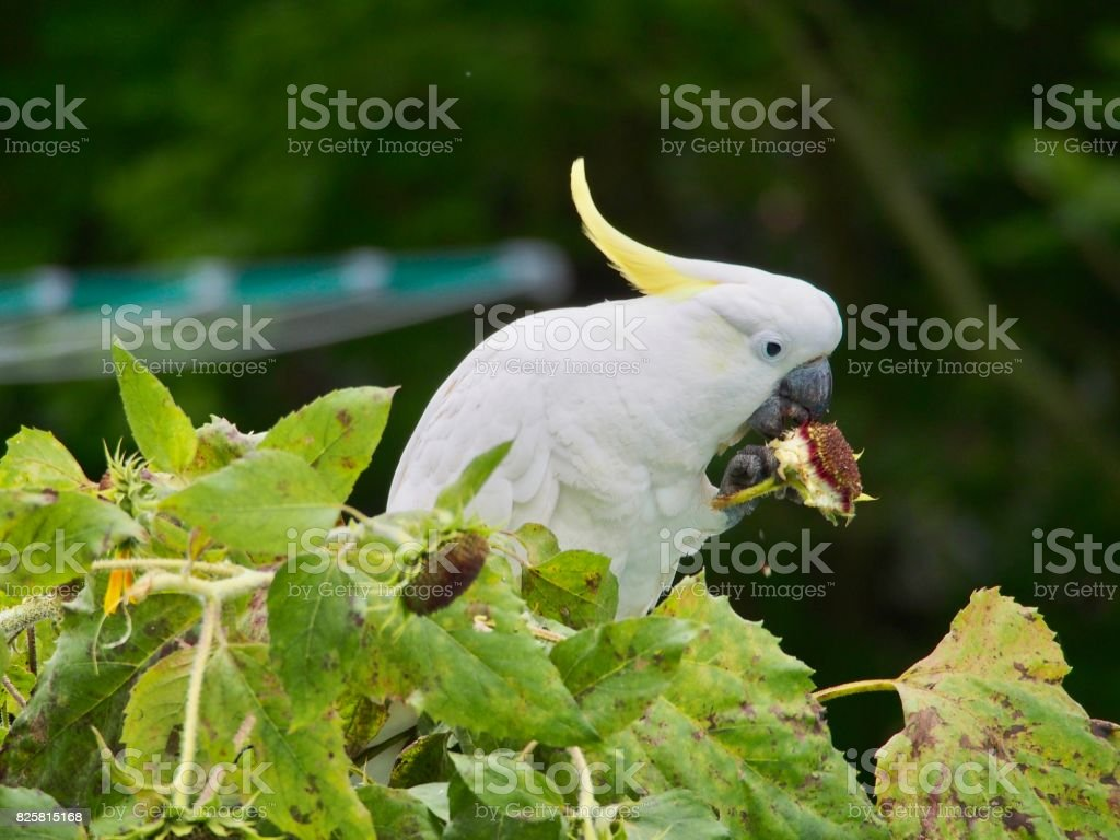 Cockatoo eating stock photo