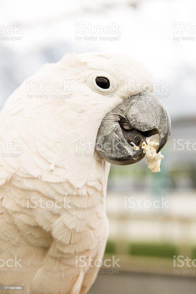 Cockatoo Parrot royalty-free stock photo