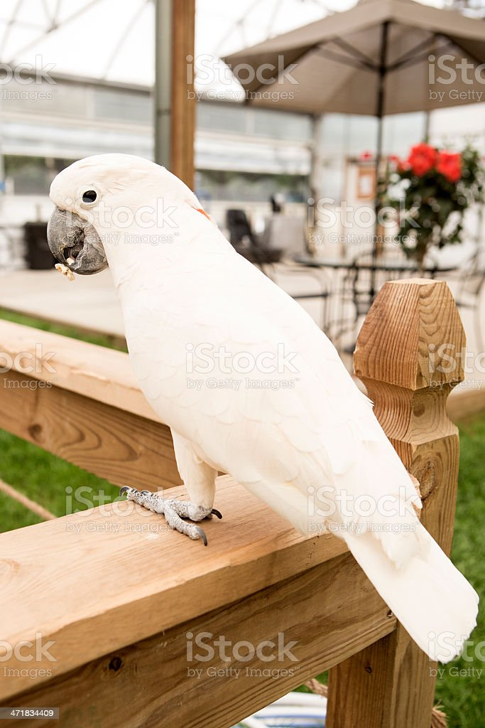 Cockatoo Parrot royalty-free stock photo