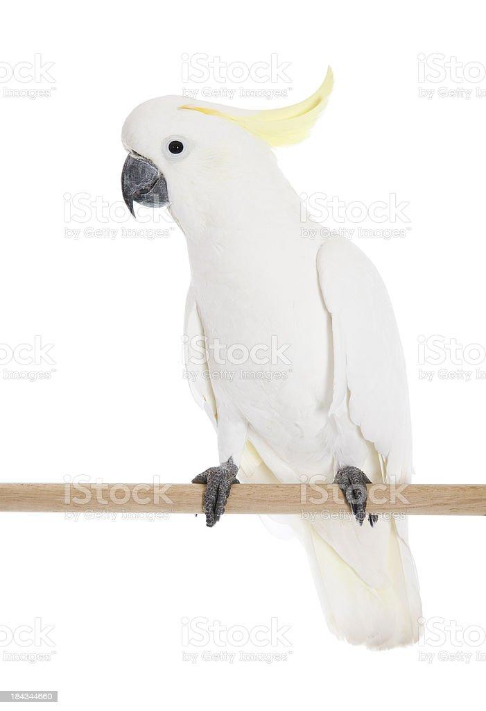 Cockatoo Perch stock photo