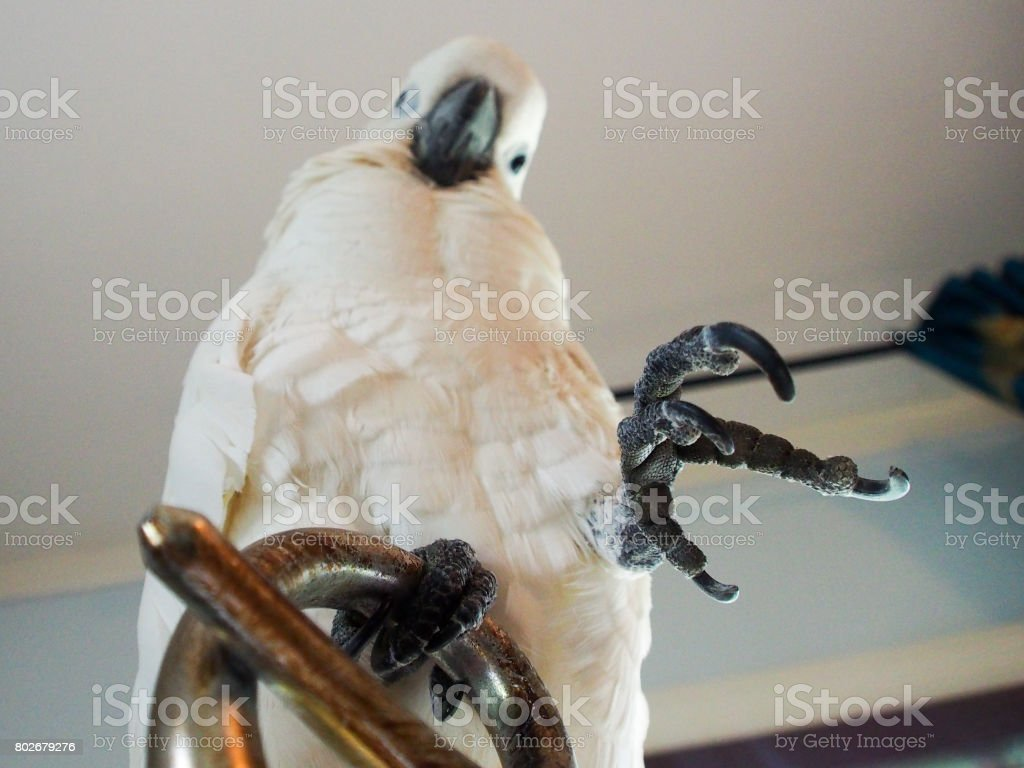 Cockatoo perches on a lamp stock photo