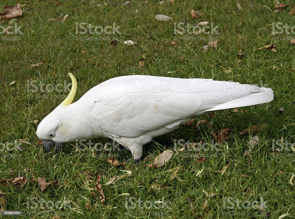 Cockatoo royalty-free stock photo